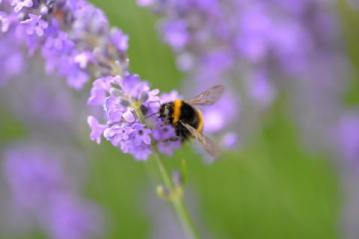 Lavendel met bij_0